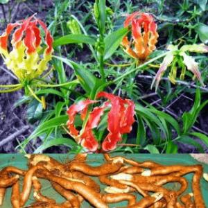 Cây ngọt nghẹo chữa trị khi bị rắn cắn, bọ cạp, côn trùng đốt, trĩ, bệnh ngoài da do ký sinh trùng, hùi