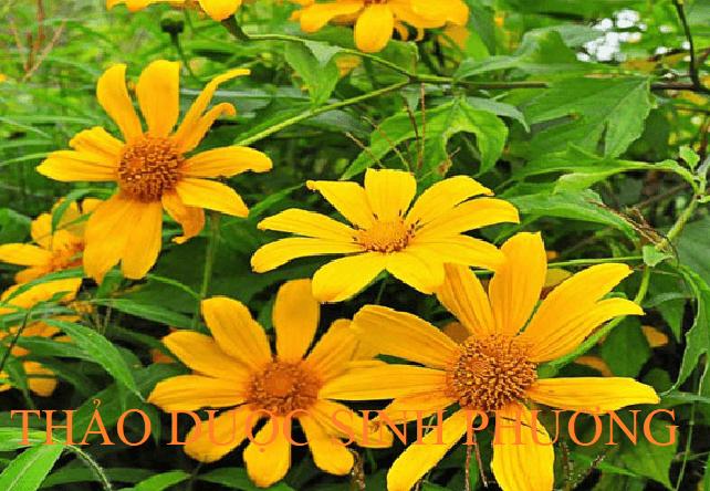 Hoa quỳ