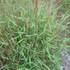 Cây cỏ bờm ngựa trị phát sốt, phiền khát, đái ra máu và đái buốt di tinh.