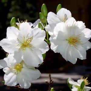 Hoa mai trắng chữa đau khớp do phong thấp, viêm kết mạc cấp tính và viêm da lở loét.