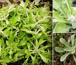 Rau khúc chữa trị khí hư bạch đới, bị ngộ độc đậu tằm và giảm ho.