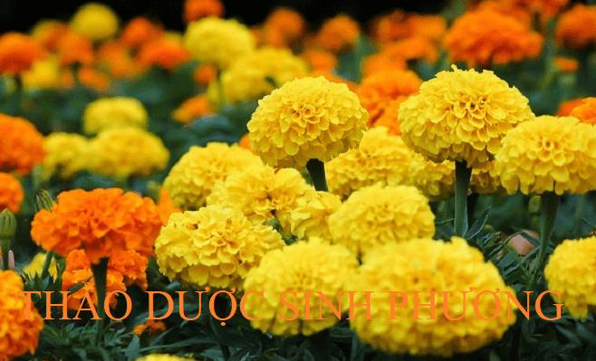 Hoàng cúc hoa