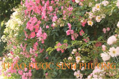 Cây Tầm Xuân