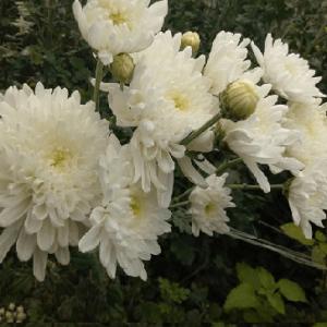 Cúc hoa trắng chữa phong thấp gây đau nhức ở chân, đầu gối, suy nhược thần kinh.