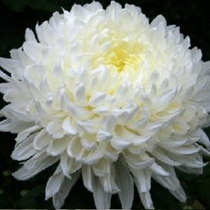 Cúc hoa trắng trị mắt sưng đau, đỏ, mụn đinh nhọt và mụn nhọt đã làm mủ.