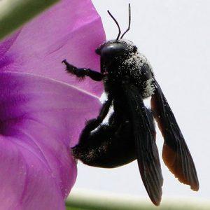 Ong đen chữa sâu răng, kinh phong ở trẻ con, điều trị ung nhọt