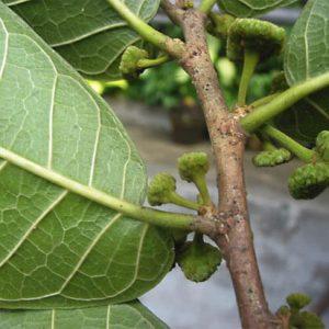 Cây sui có chứa tannin nên còn được nhân dân sử dụng để nhuộm vải.