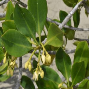 Cây đước gây se xoắn mạnh, dịch chiết từ rễ có tác dụng kháng nấm rõ rệt.