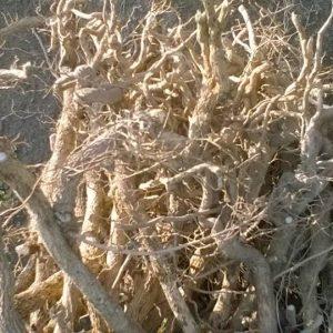 Rễ cây thần xạ Hòn Hèo do môi trường sinh sống là đất núi rễ cây mọc quằn quèo. Lớp vỏ sần sùi, khi bóc lớp vỏ rất dai sau lớp vỏ là màu vàng óng. Khi đốt lên có mùi thơm như sữa.