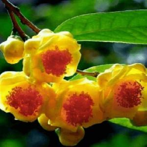 Kim hoa trà có tác dụng bồi bổ cơ thể, phòng ngừa bệnh, kéo dài tuổi thọ.