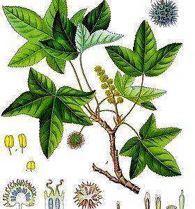Tô hạp hương làm giảm sự bài tiết của phế quản, giảm ho, long đờm.