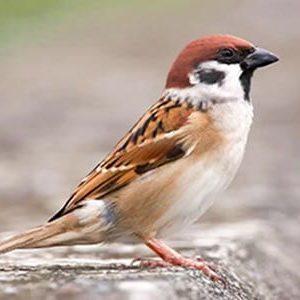 Chim sẻ điều trị đau lưng sau khi sinh nở, đau mắt có màng che đồng tử.