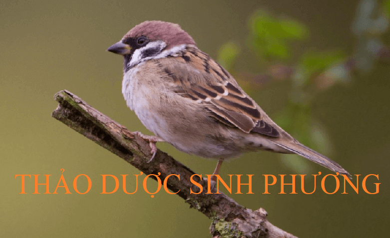 Phân chim sẻ