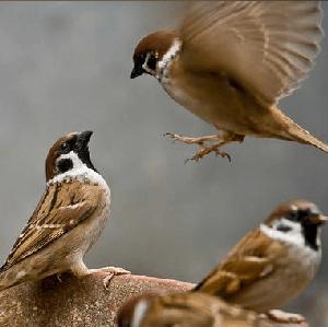 Chim sẻ điều trị gầy yếu, suy nhược cơ thể và hơi thở ngắn.