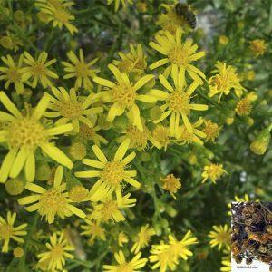 Toàn phúc hoa giúp trừ đờm, chống nôn, trị ho, hen, nôn ọe.