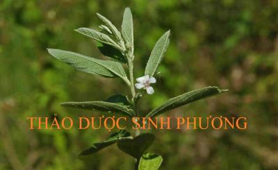 Sơn Chi Ma