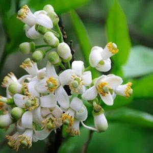 Tinh dầu hoa bưởi chữa ho đờm, đau dạ dày và thông đại tiện.
