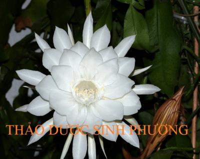 Hoa Quỳnh