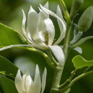 Ngọc lan ta chữa đại tiện khó, đau mắt, viêm mũi và xoang.