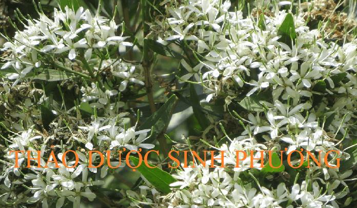 Bạch hoa đan